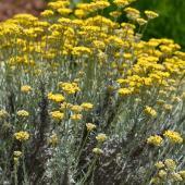 Helichrysum italicum - plante a curry