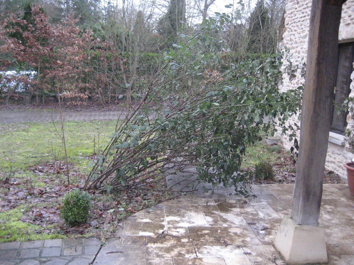 Comment Sauver Un Oranger Du Mexique rosier couché et déraciné par la neige et le vent. - forum