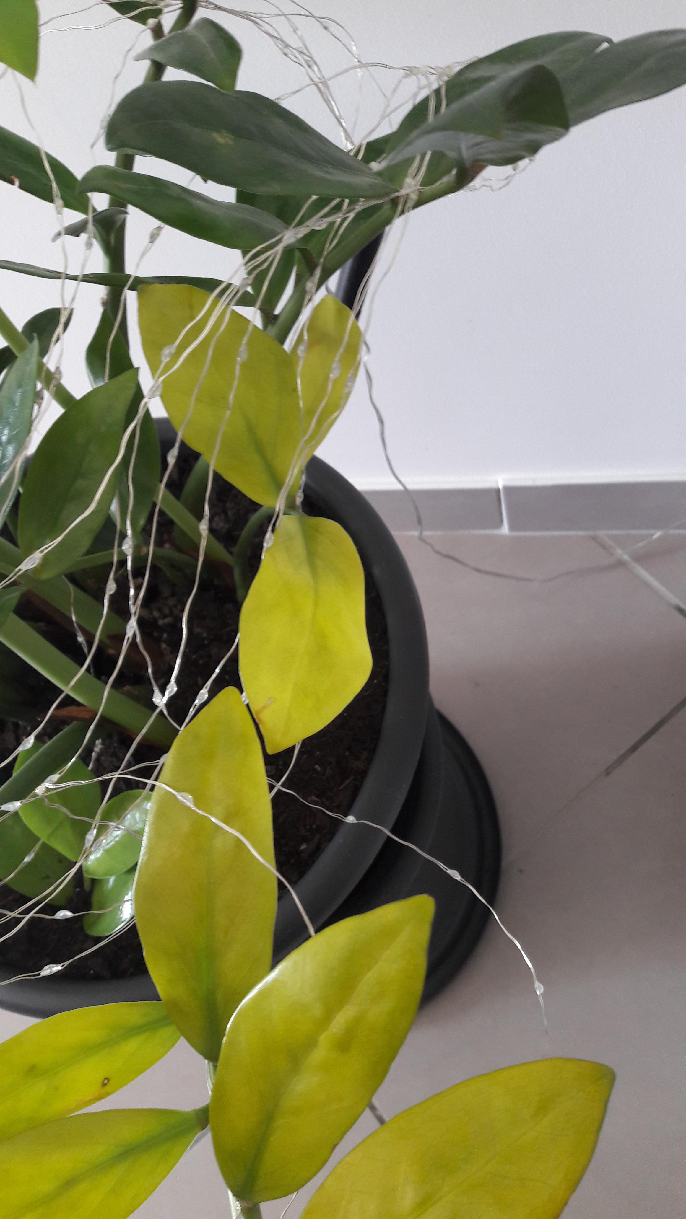 zamioculcas feuilles jaune