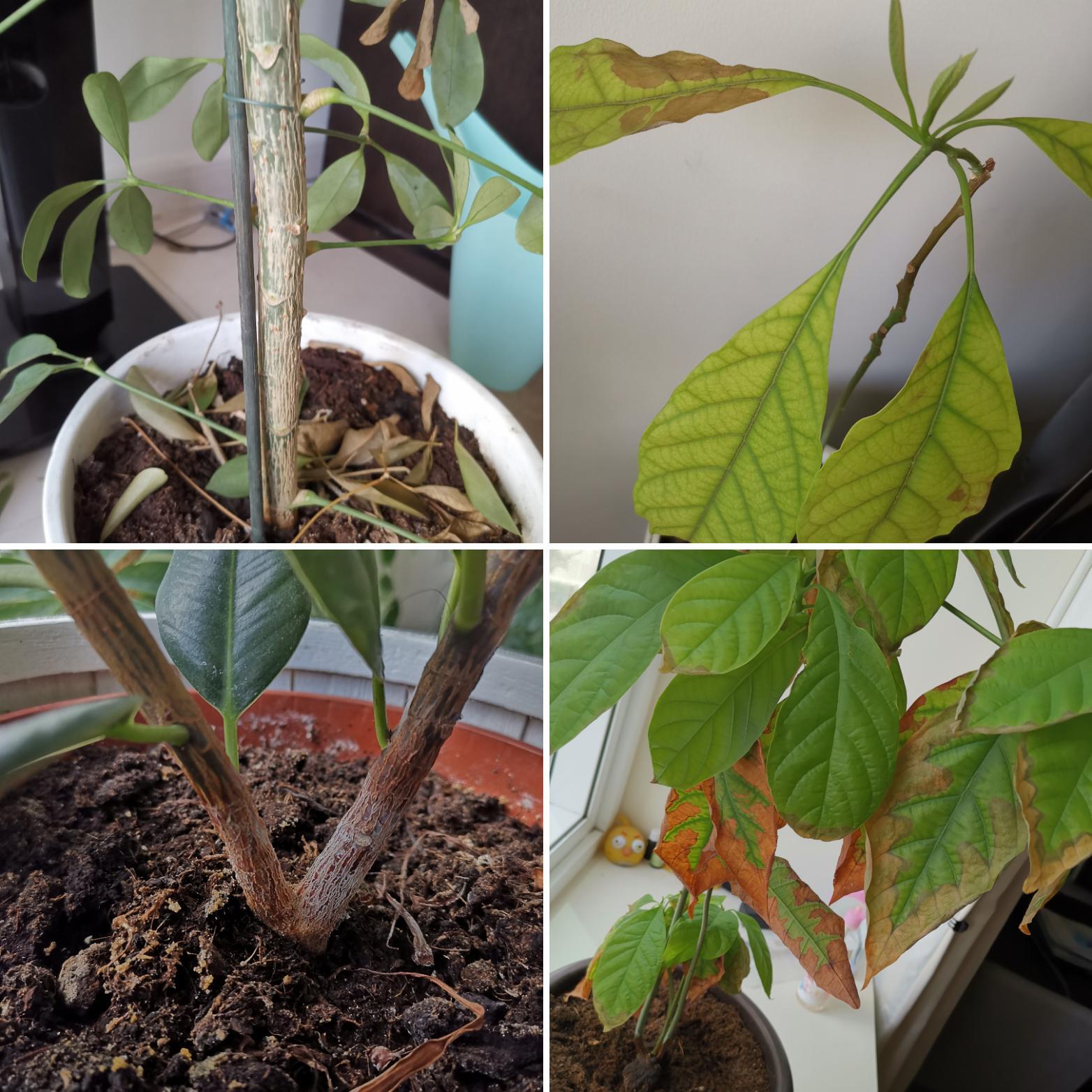 Feuilles marrons, tombantes et tronc nervuré - Forum jardinage