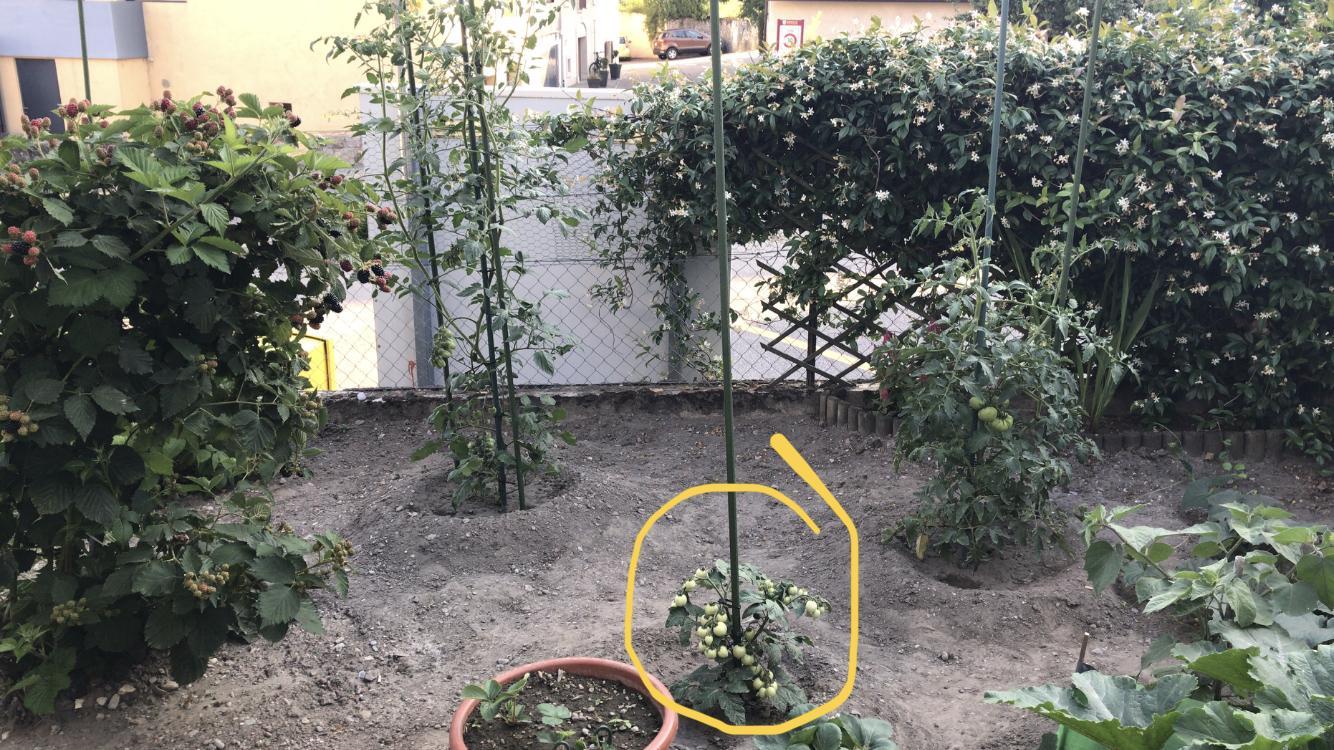 plan de tomates qui ne pousse pas forum jardinage. Black Bedroom Furniture Sets. Home Design Ideas