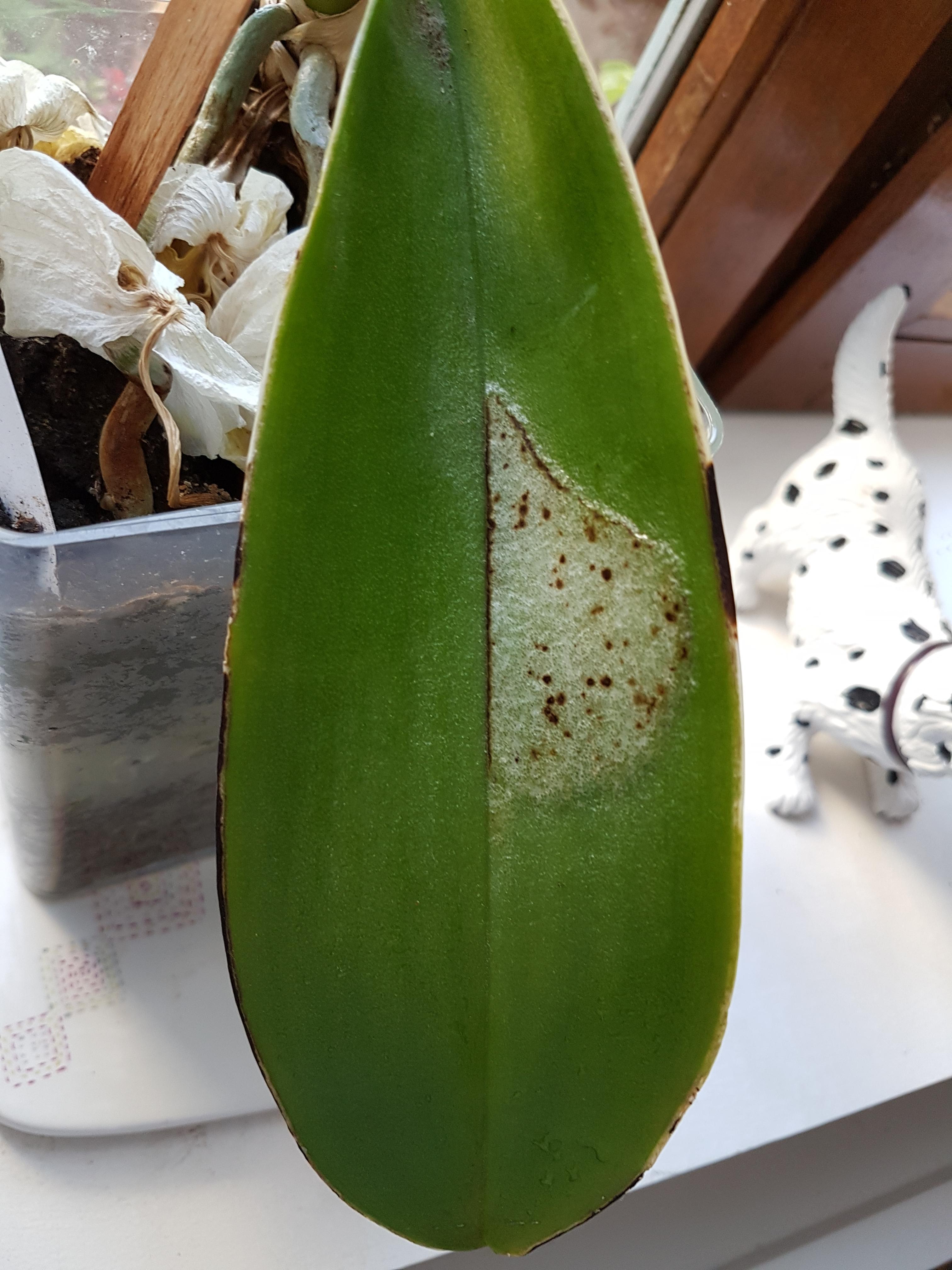 Orchidée Yvonne