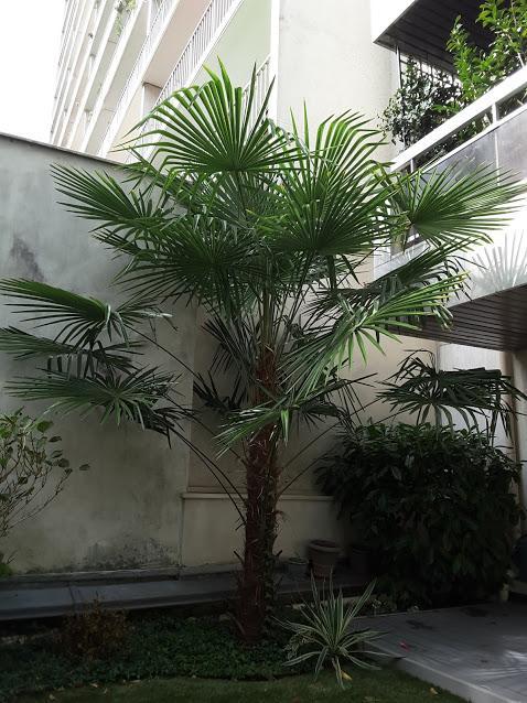 Trachycarpus envahissant