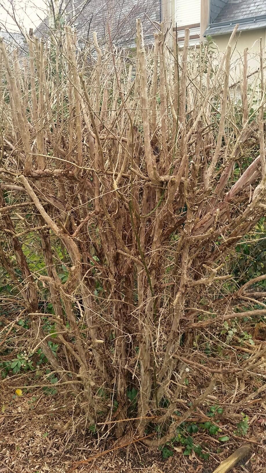 un arbuste avec taille sévère