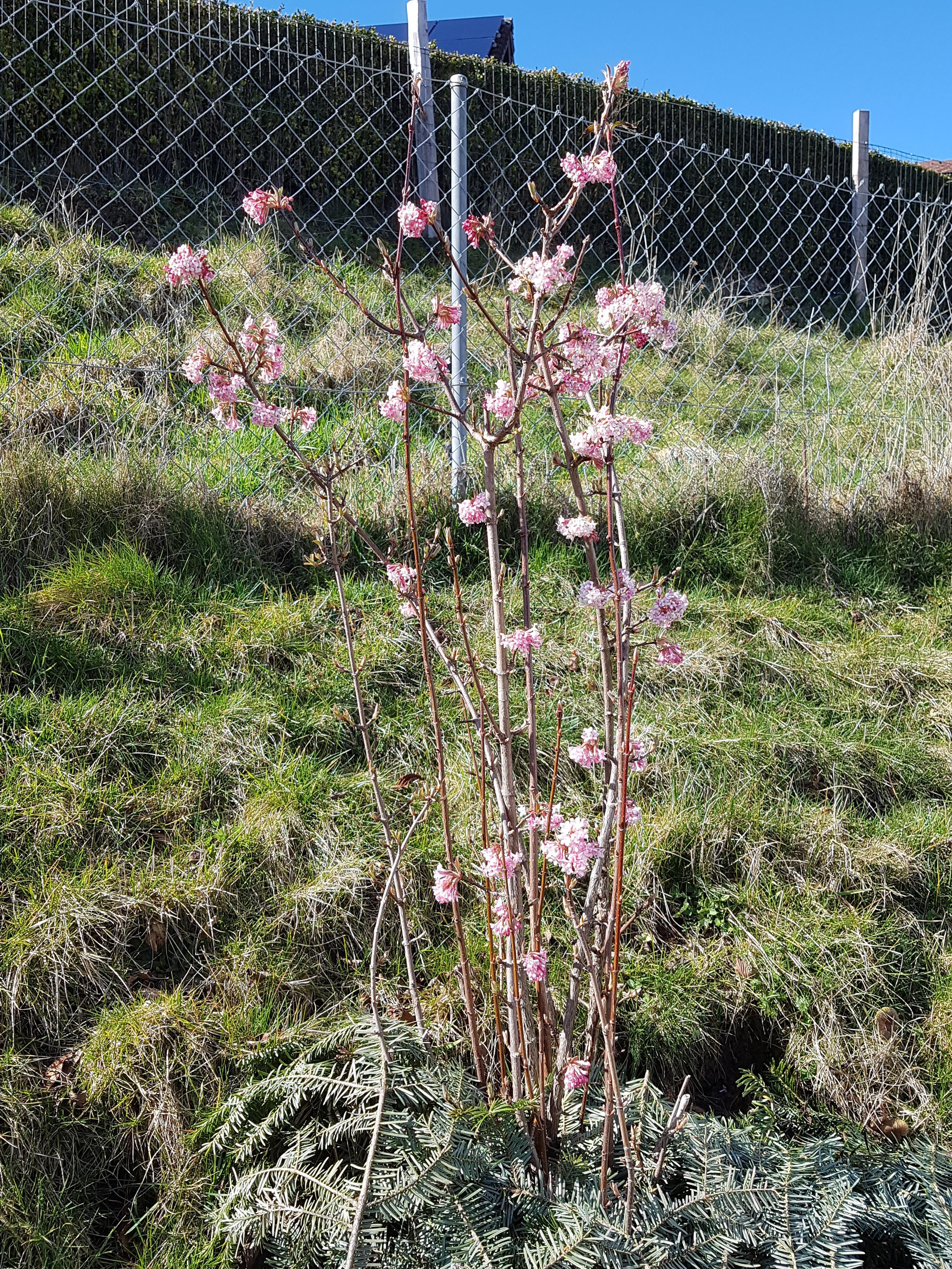 Viorne branches croisées