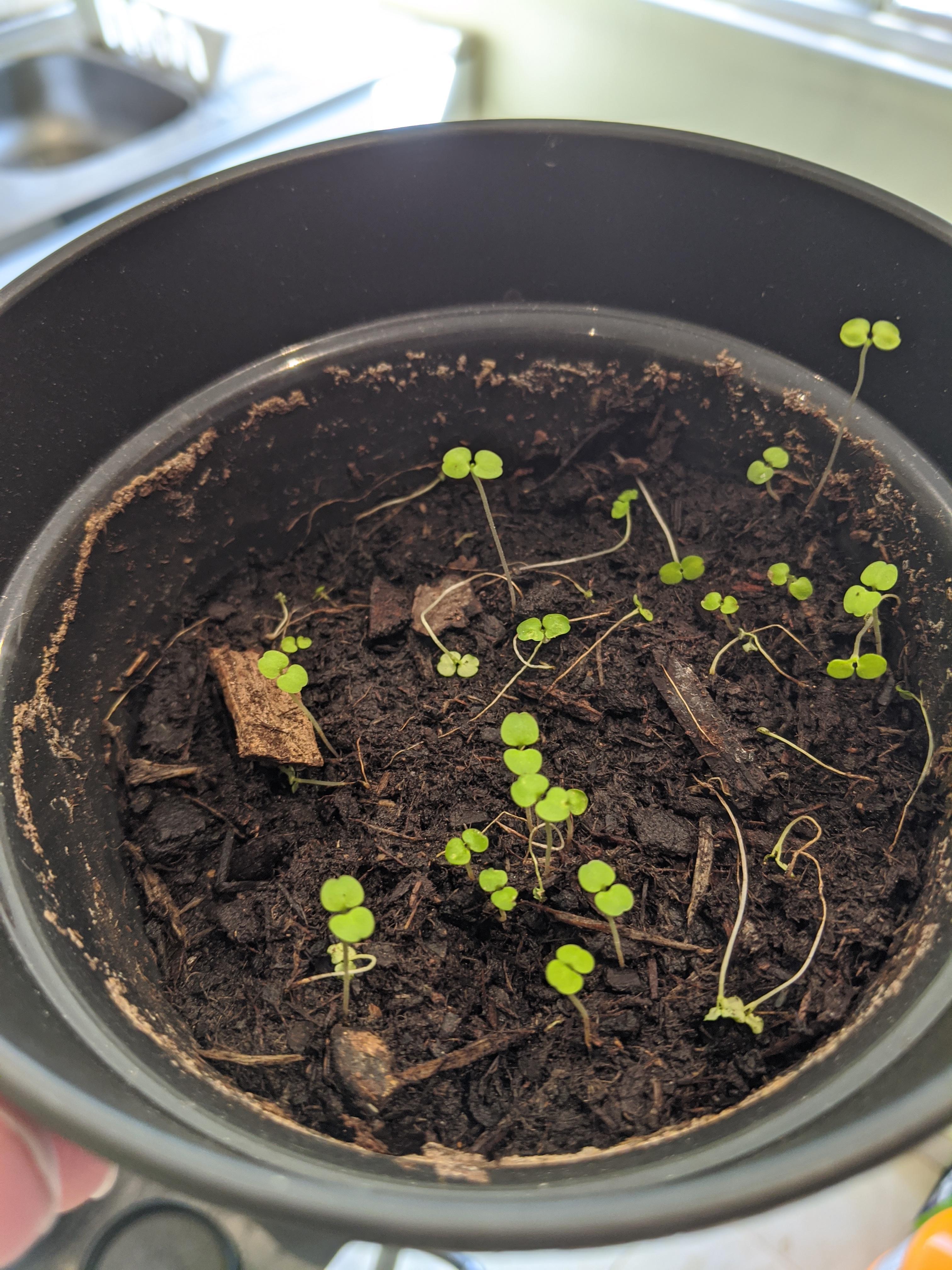 Planter Menthe En Pot menthe/mélisse en pot qui ne pousse pas - forum jardinage