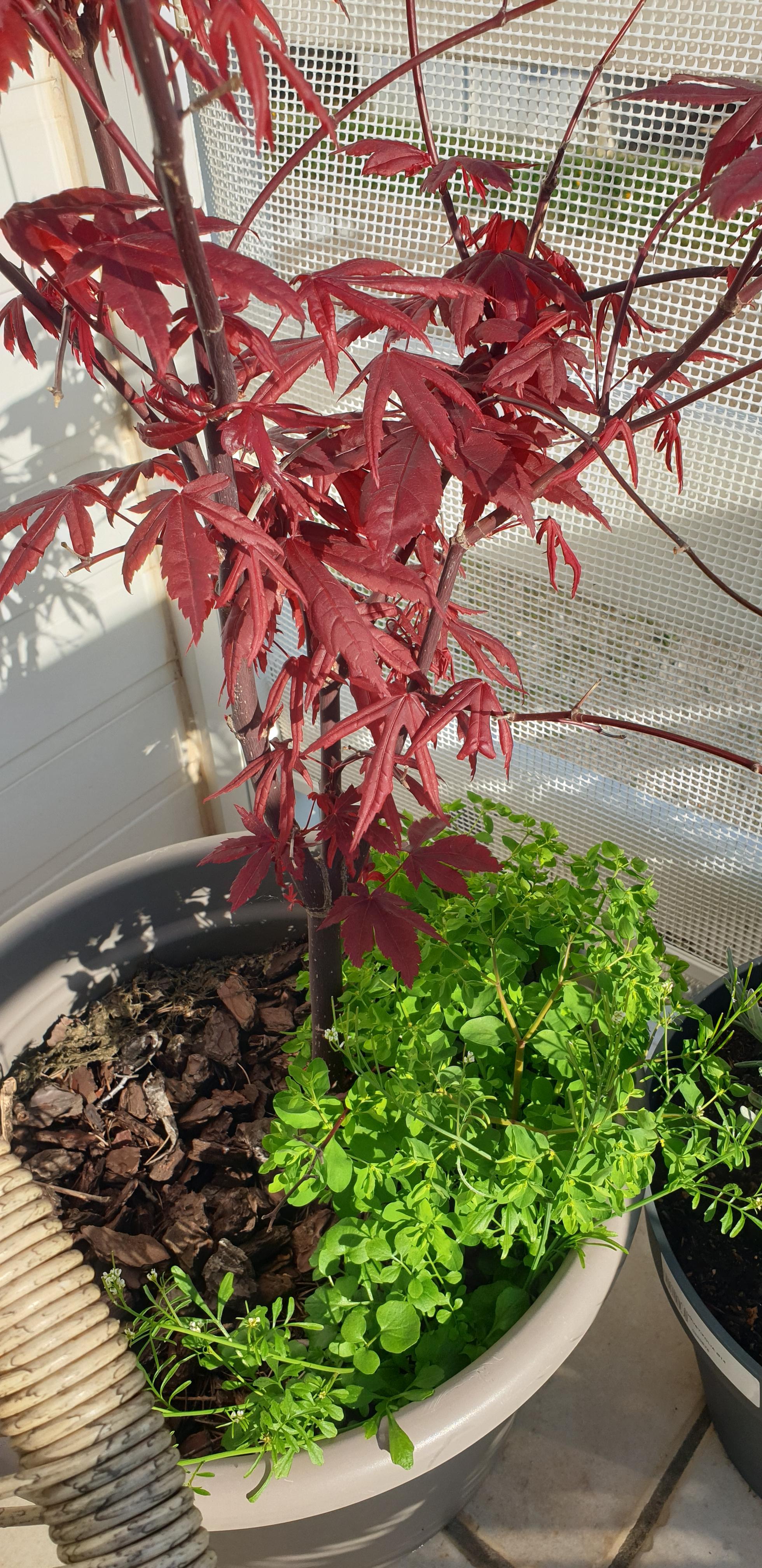 Plante dans mon pot d'érable