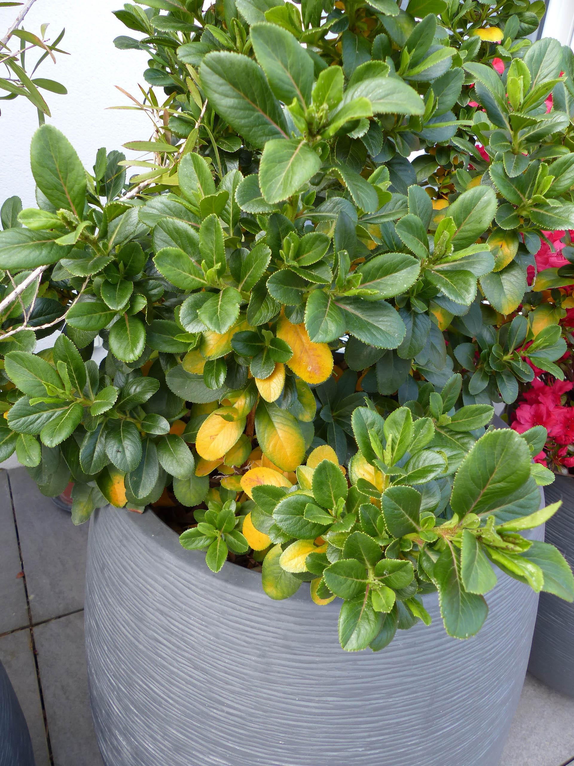 Escallonia feuilles jaunissent