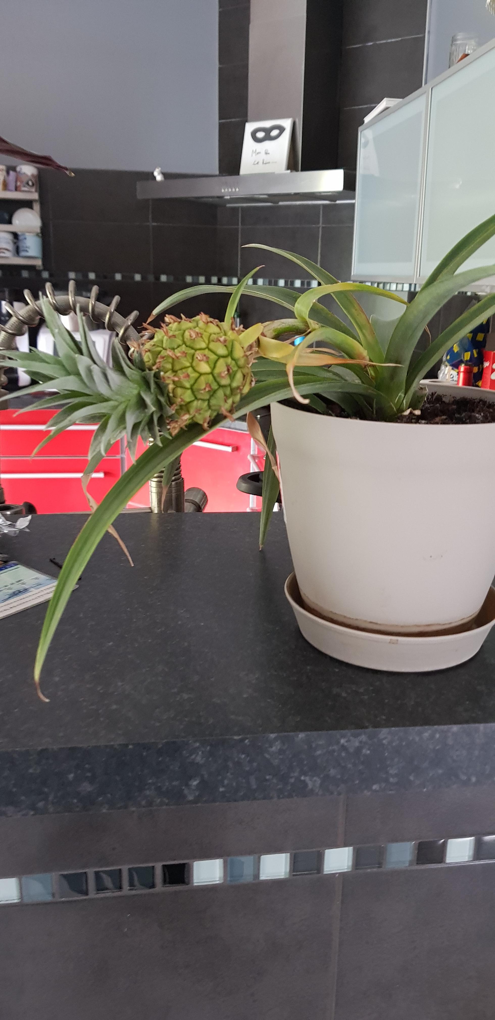 Plante l'ananas