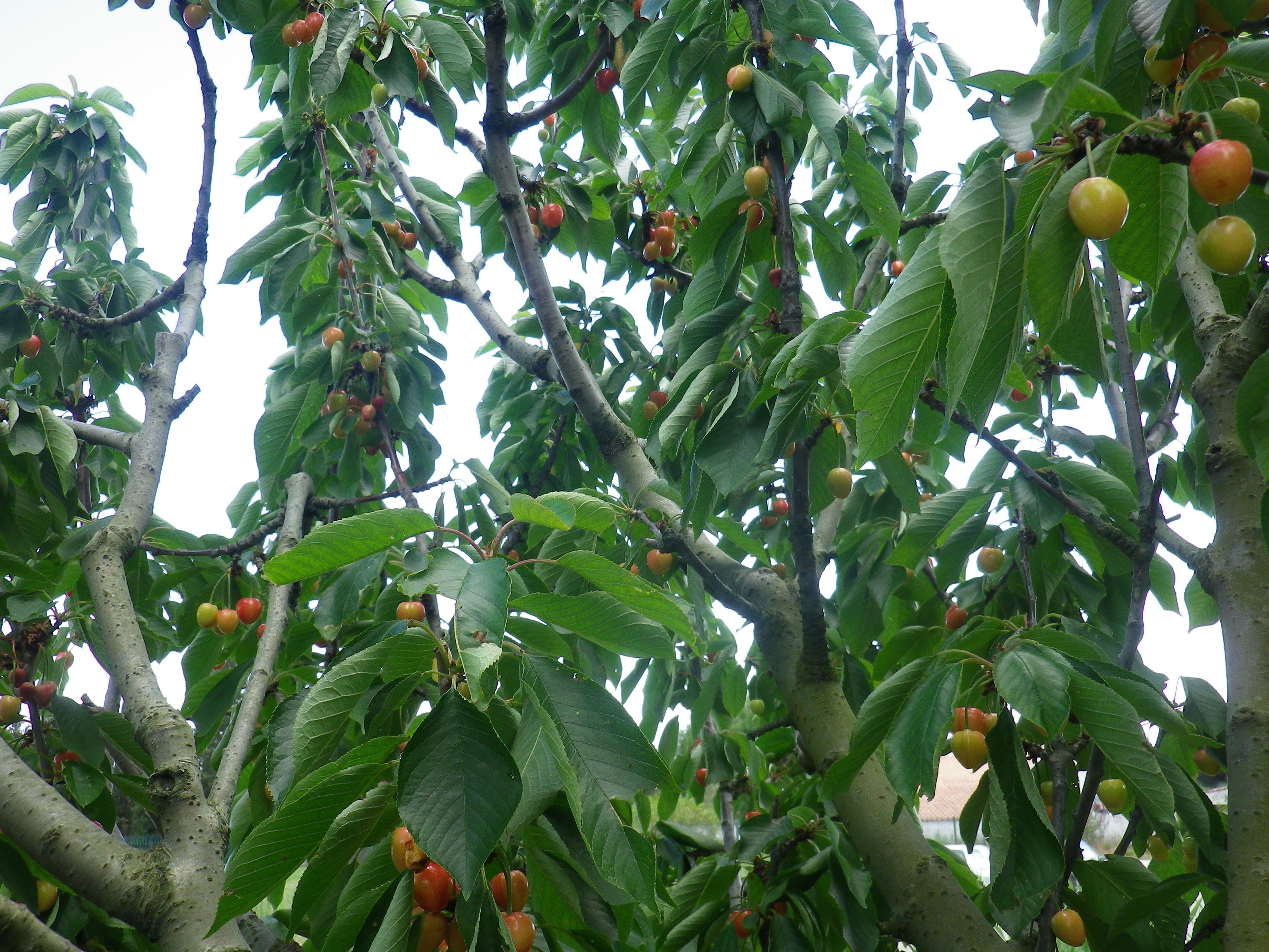 véraison des fruits