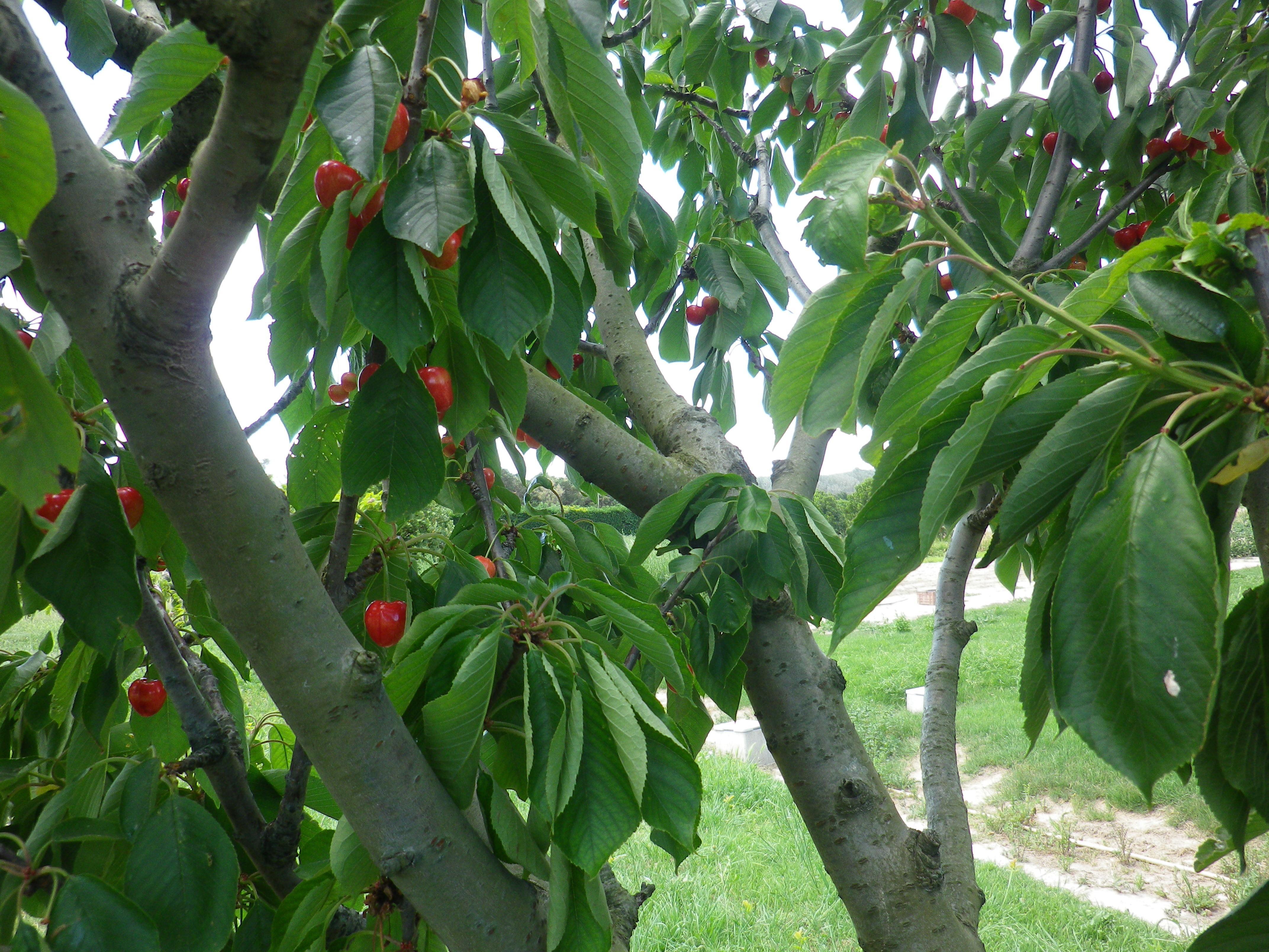 fruits matures