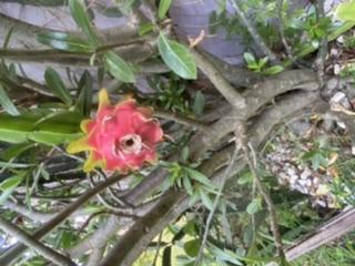 Les pitayas  fruit du dragon
