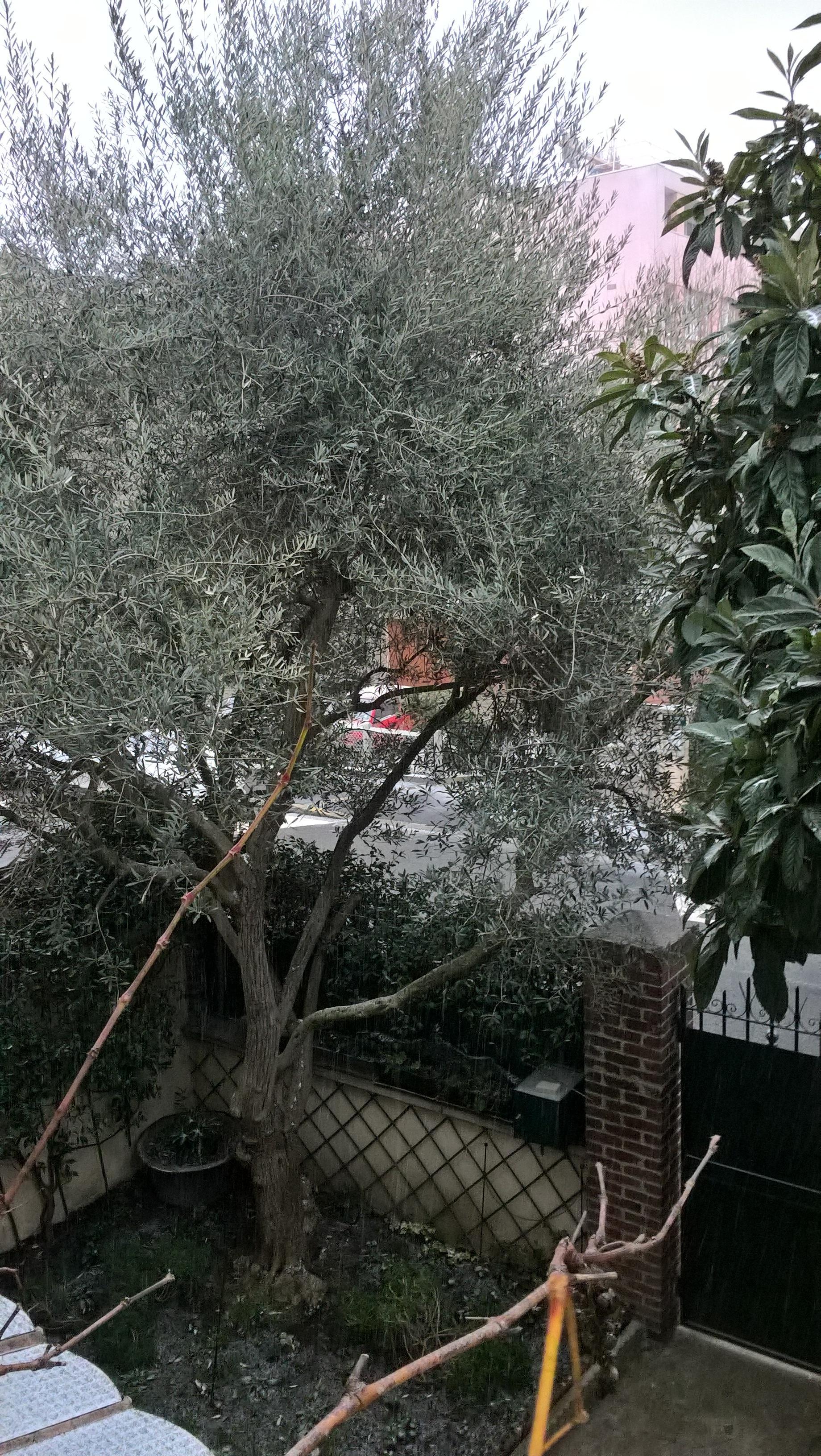 1 - L'olivier entier