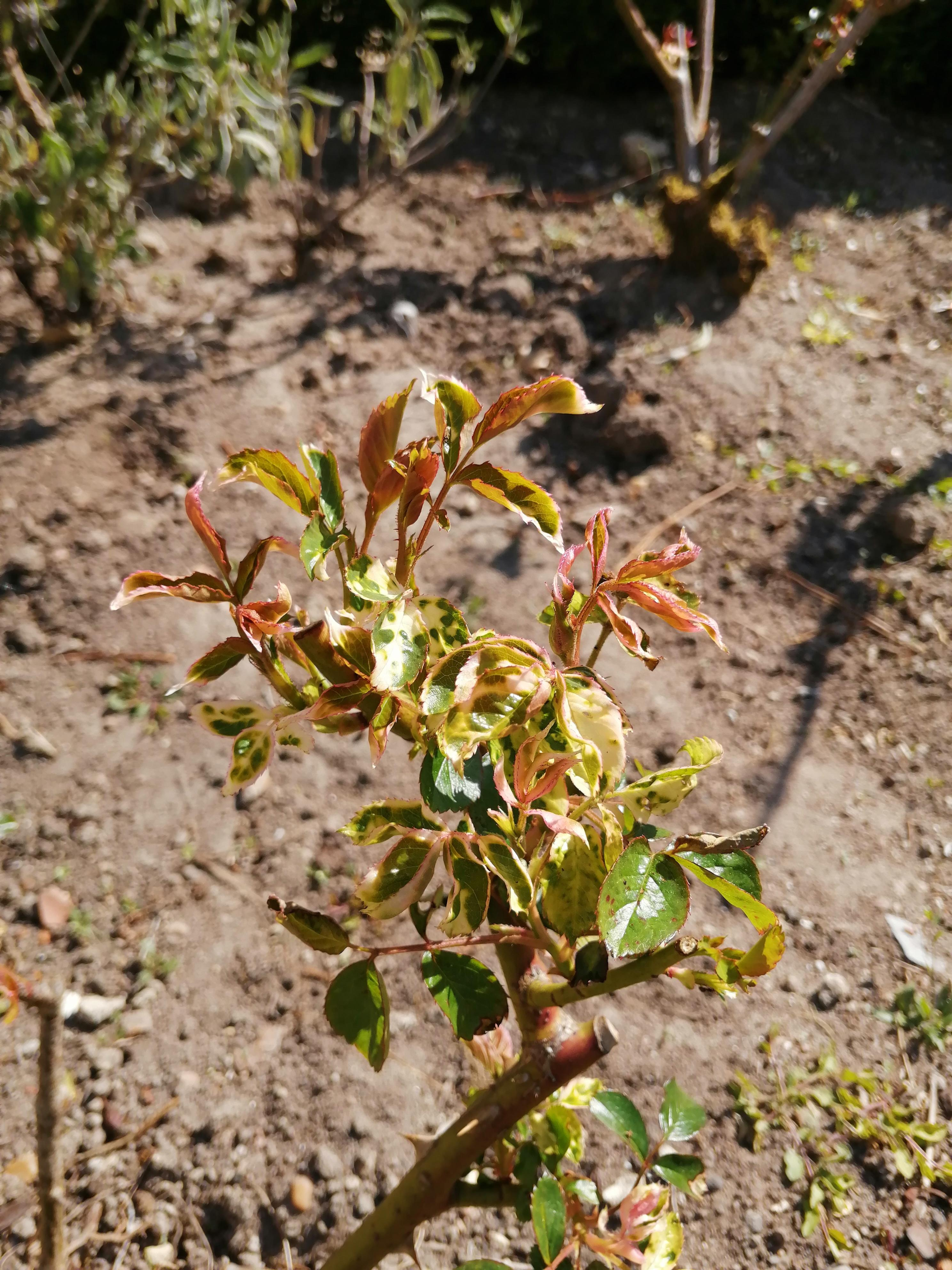 feuilles de rosiers